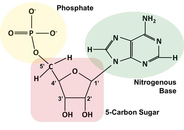 https://dlc.dcccd.edu/biology1-3/nucleic-acid
