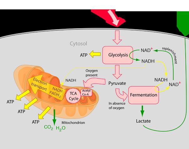 http://hyperphysics.phy-astr.gsu.edu/hbase/Biology/celres.html