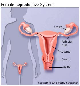 https://www.webmd.com/sex-relationships/guide/your-guide-female-reproductive-system