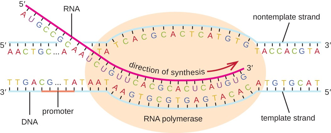 https://www.quizover.com/microbiology/test/elongation-rna-transcription-by-openstax