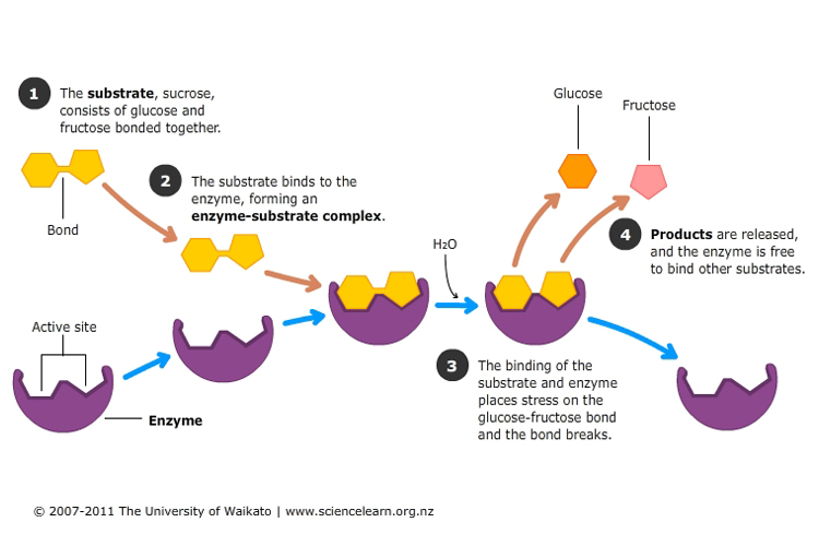 http://sciencelearn.org.nz/Contexts/Digestion-Chemistry/Sci-Media/Images/Action-of-sucrase-on-sucrose