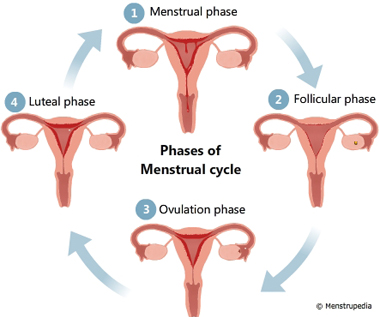 https://menstrupedia.com/articles/physiology/cycle-phases