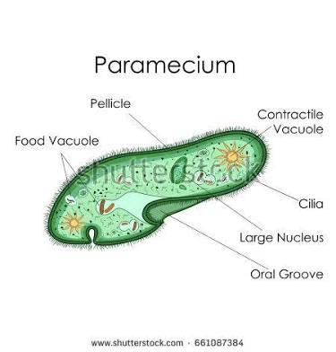 https://www.shutterstock.com/search/paramecium