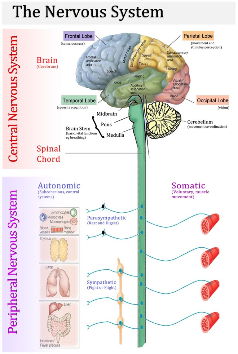 http://www.printablediagram.com/printable-nervous-system-diagrams/