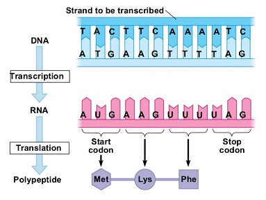 http://www.slideshare.net/petersbiology/ch-10-notes-for-website