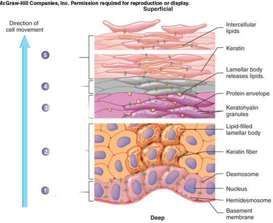 Is The Third Layer Of The Epidermis The Basement Membrane Is This Also Called The Stratum Basale Layer Socratic