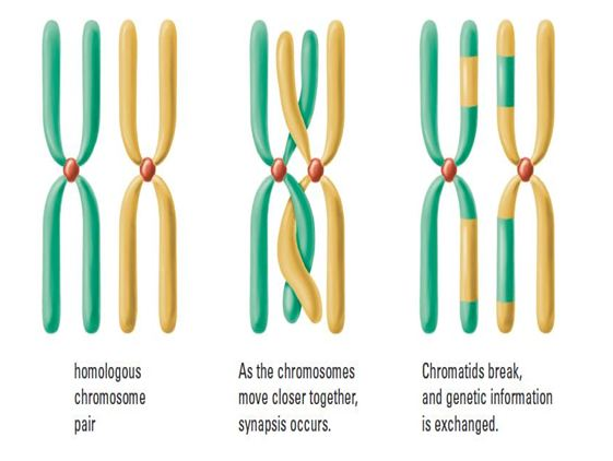 https://uoitbio2013.wordpress.com/mitosis-vs-meiosis/meiosis/