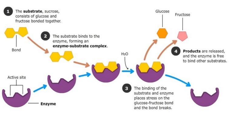 https://www.sciencelearn.org.nz/images/2260-action-of-sucrase-on-sucrose