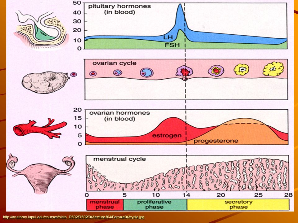 http://slideplayer.com/4117968/13/images/7/Menstrual+Cycle+http%3A%2F%2Fanatomy.iupui.edu%2Fcourses%2Fhisto_D502%2FD502f04%2Flecture.f04%2FFemale04%2Fcycle.jpg.jpg