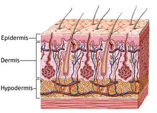 https://lcsdanatomyphysiology.wikispaces.com/Epidermis,+Dermis+and+Hypodermis,+p6