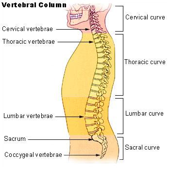 upload.wikimedia.org/wikipedia/commons/f/f8/Illu_vertebral_column.jpg