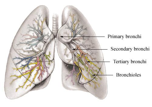 http://www.cts.usc.edu/graphics/bronchioles_labeled.jpg