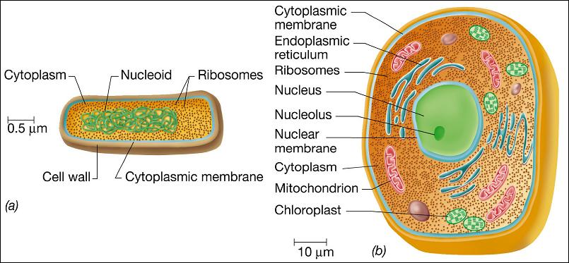 http://bare.bearsbackyard.co/size-of-eukaryotic-cell/