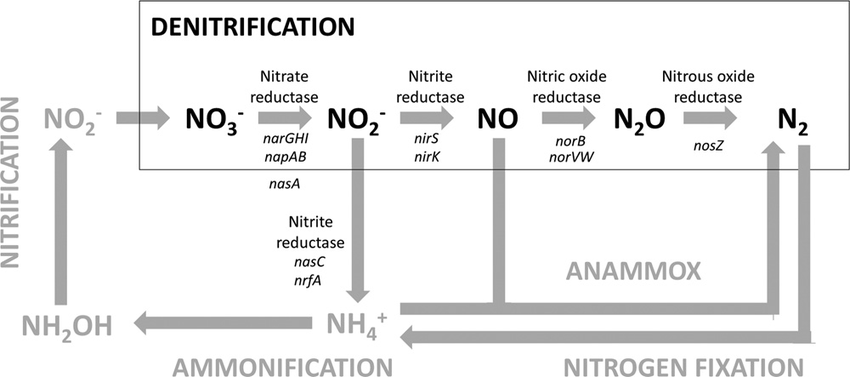 https://www.researchgate.net/figure/258060211_fig1_FIG-1-The-nitrogen-cycle-Denitrification-consists-of-the-sequential-reduction-of
