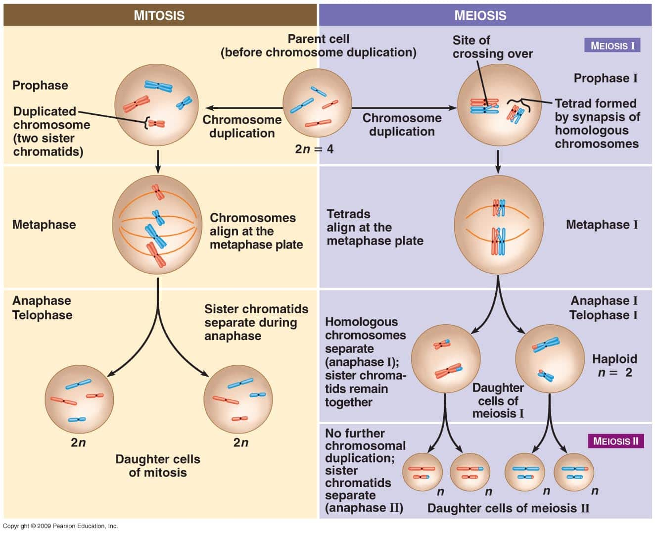 https://schoolworkhelper.net/meiosis-vs-mitosis-comparison/
