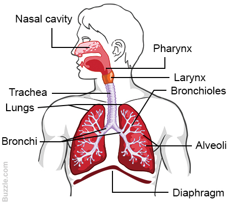 bodytomy.com/structure-of-human-respiratory-system