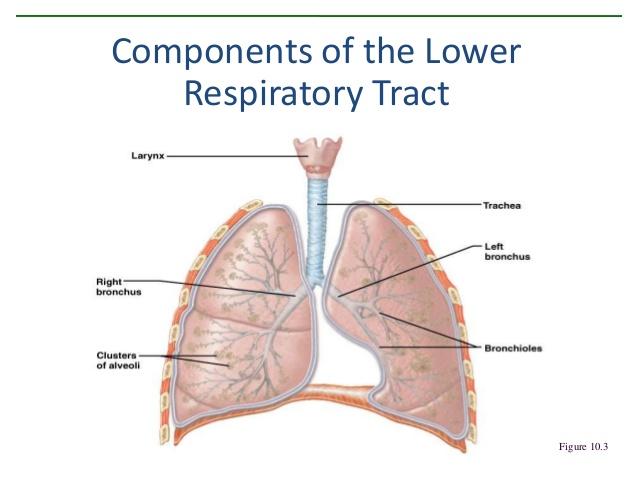 https://image.slidesharecdn.com/respiratorysystem-140207100944-phpapp01/95/respiratory-system-5-638jpg?cb=1391767891