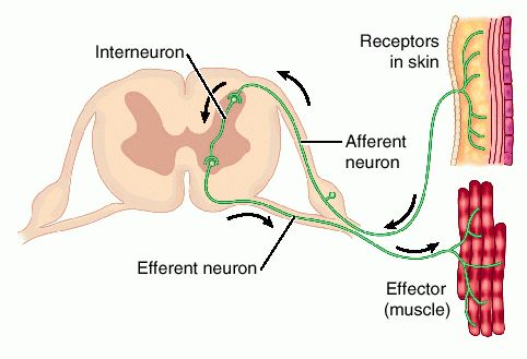 http://www.tutorvista.com/biology/reflex-arc-diagram