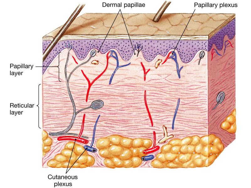 http://droualb.faculty.mjc.edu/Lecture%20Notes/Unit%201/Integumentary%20with%20figures.htm