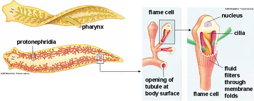 protonephridia platyhelminthes platyhelminthes deuterostome vagy protostomes