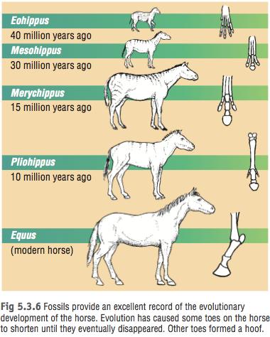 http://cavycavecircus.wix.com/horse-evolution