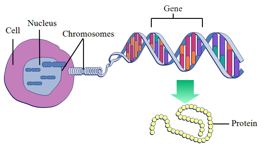 DNA is made up of genes or genes are made up of DNA? | Socratic