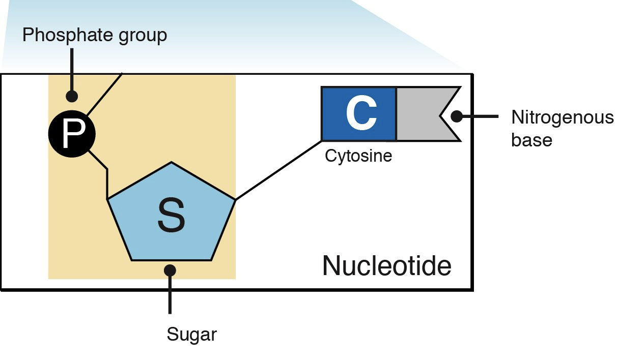 http://knowgenetics.org/nucleotides-and-bases/
