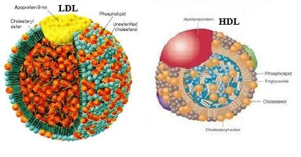 http://cholesterolinformationforyou.weebly.com/how-do-ldl-and-hdl-differ-structurally-and-functionally.html