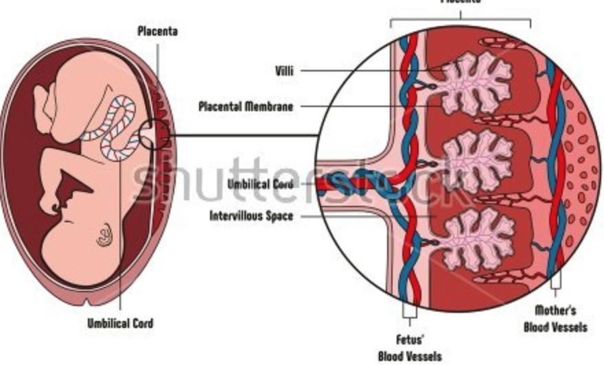 https://www.shutterstock.com/image-vector/human-fetus-placenta-anatomy-diagram-all-613242485