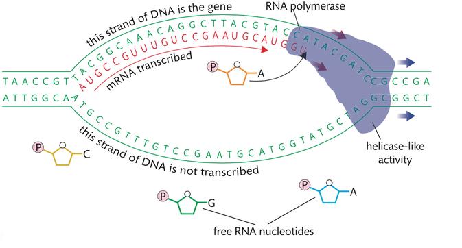 DNA transcription into a messenger RNA strand