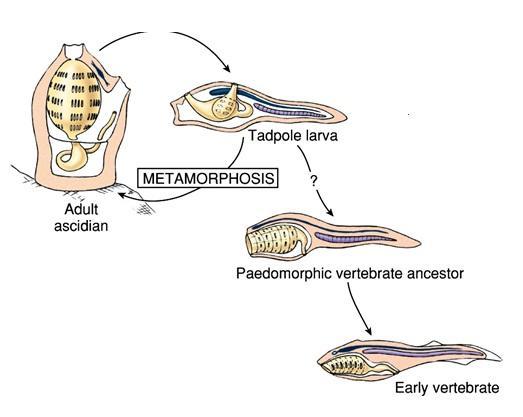 http://vertpaleo.org/Images/paedomorphosis.aspx