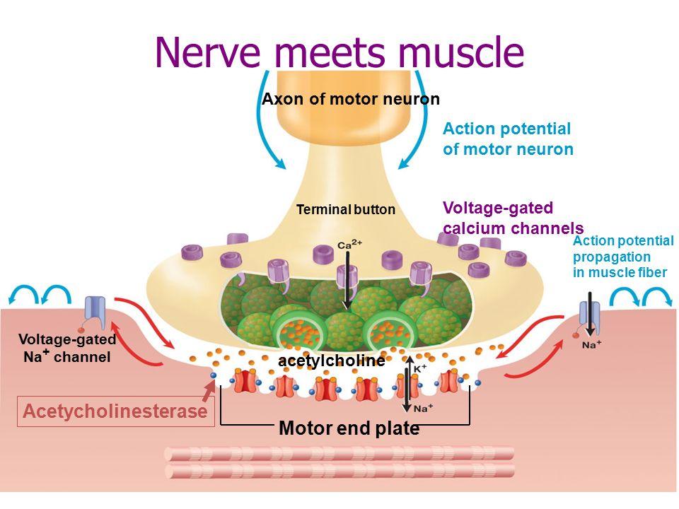 http://slideplayer.com/9893721/32/images/4/Nerve+meets+muscle+Acetycholinesterase+Motor+end+plate.jpg