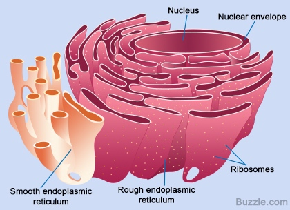 http://www.buzzle.com/images/diagrams/animal-cell-structure/rough-and-smooth-endoplasmic-reticulum.jpg
