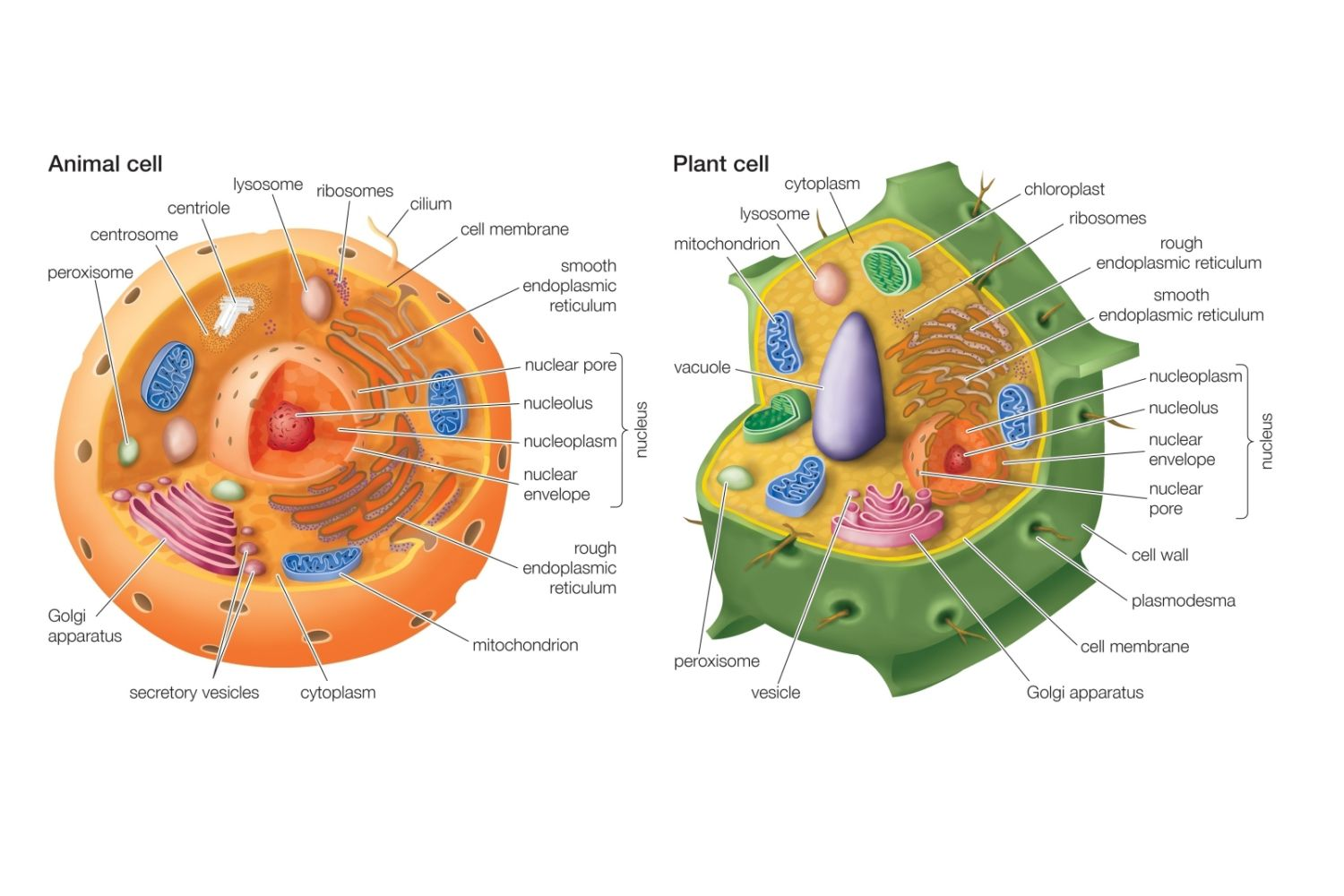 What does a plant and animal cell have in common? | Socratic