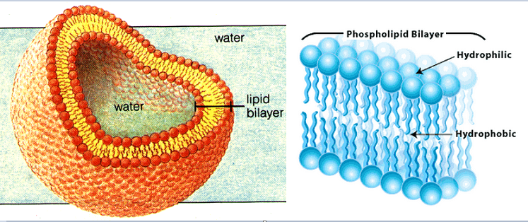 What makes a cell membrane waterproof? | Socratic