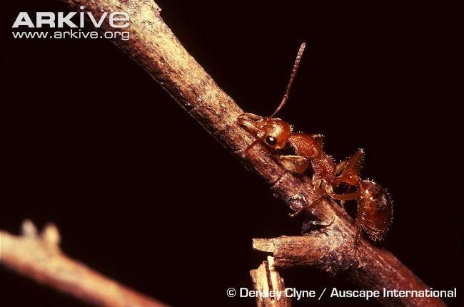 http://www.arkive.org/australian-ant/nothomyrmecia-macrops/