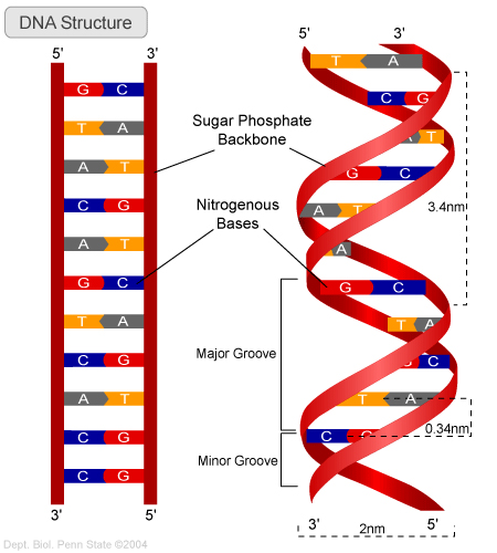 The structure of the DNA double helix molecule