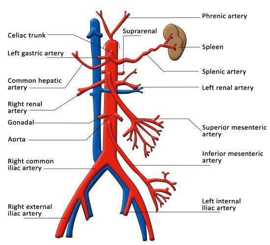 http://www.buzzle.com/images/diagrams/human-body/arteries/celiac-trunk.jpg
