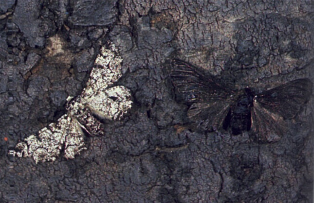 https://whyevolutionistrue.wordpress.com/2016/06/03/peppered-moth-mutation-discovered-at-last/4220-20069030/