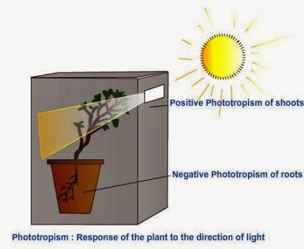 http://2.bp.blogspot.com/-jJp_zmxRKaA/Uo2pcYAzmSI/AAAAAAAACgY/Sa1TCIdMefQ/s1600/Phototropism-CBSE-Class-10-Sciencejpg