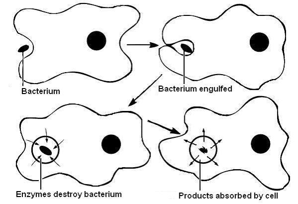 http://study.com/academy/lesson/phagocytosis-definition-process-types.html