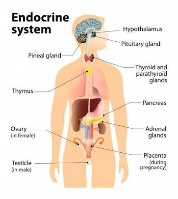 www.epa.gov/endocrine-disruption/what-endocrine-system