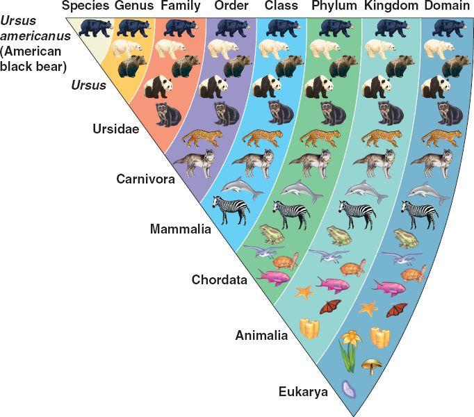 https://bioelevenncuevas.wordpress.com/principles-of-taxonomy-and-classifying-organisms/
