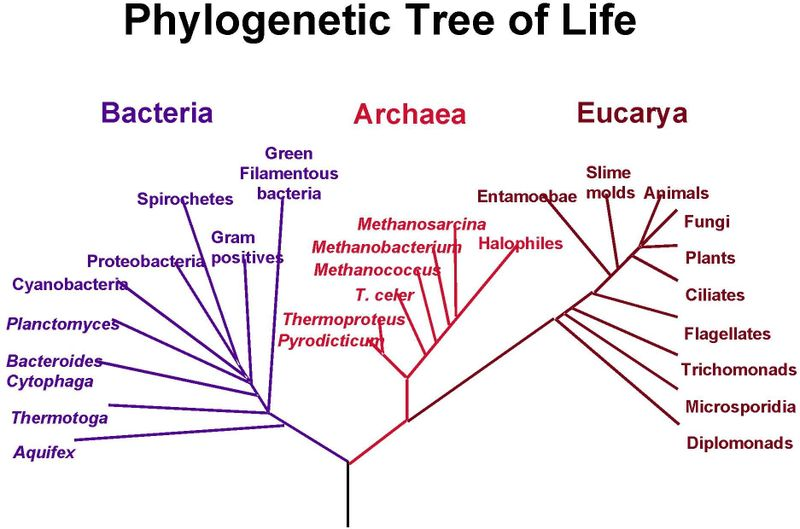 http://www.dnabaser.com/articles/phylogenetic-tree/