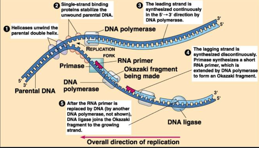 https://www.pathwayz.org/Tree/Plain/DNA+REPLICATION+(STAGES+%26+ENZYMES)