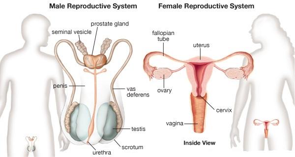 https://www.aplustopper.com/wp-content/uploads/2017/04/reproductive-system.jpg