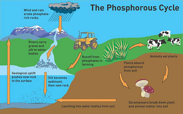 http://www.environmental-research.ox.ac.uk/lets-talk-phosphorus-depletion/ image source here