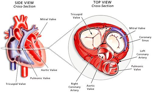 http://www.cts.usc.edu/graphics/heartvalves-heartcrosssection1.jpg