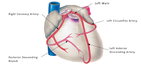 What are the three major coronary arteries called? | Socratic