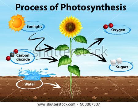 [Photosynthesis]